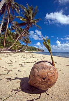 Palm Tree as a 'Young Nut', Yap Island, Fed. States of Micronesia Wake Island, Island Girl, Hawaii, Federated States Of Micronesia, Island Nations, Guam, Small Island, South Pacific, Travel And Leisure