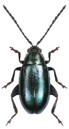 Phyllotreta nigripes