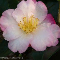 Camélia d'automne - Camellia sasanqua Fukusutsumi