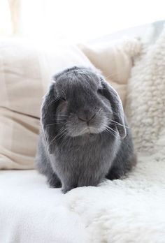 Animals And Pets, Baby Animals, Cute Animals, Cute Baby Bunnies, Cute Babies, Mini Lop, Pet Rabbit, Animals Beautiful, Dogs And Puppies