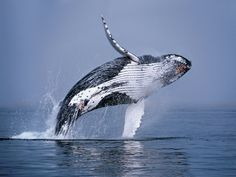 Humpback Whale Breaching in the Ocean wallpaper