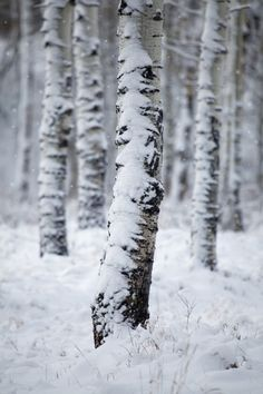 """accio-forest: """"First Snow by Carl Lindbloom """""""