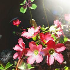 Lucky four leaf clover.  #garden #gardening #flowers #tinylittlegarden #allotment #lucky #gardenersofinstagram #tuin #bloemen #potager   See more on www.tinylittlegarden.nl