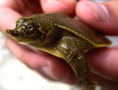 Baby Snapper Turtle: http://www.silveranimals.com/turtle_jewelry_charms.htm