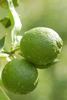 a lime tree.Key lime and persian. Fruit And Veg, Fruits And Veggies, Fresh Fruit, Colorful Fruit, World Of Color, Color Of Life, Go Green, Green Colors, Sumo Natural