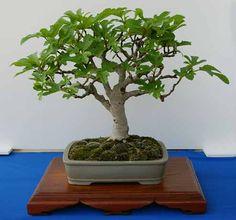 RP:  Ficus Carica - Genuine Fig