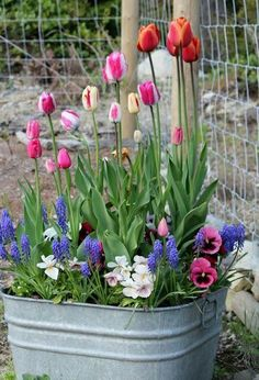 Spring bulb container in aluminum trough. Love this container and flower choice. Very cottage like!