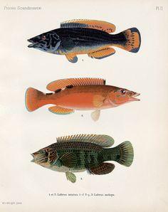 Wilhelm von Wright, Skandinaviens fiskar. 1893-95. Andra Upplagan. Die maßgebliche, reich illustrierte Ausgabe des Standardwerks zum Fischbestand Skandinaviens