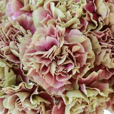 Bella Antique Carnation Flowers are available at FiftyFlowers.com! Watermelon Pink and Antique Green Petals make up this beautiful, ruffled, ball shaped bloom. Cluster several stems together tightly to create amazing texture! Use alone or combine with antique hydrangeas, daisies, and snapdragons for a one of a kind vintage arrangement. Order Today! Offered in packs of 100, 150, 200, 300, and 350 stems.