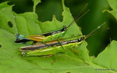 https://flic.kr/p/GBmetC | Grasshoppers mating, Stenopola sp. | from Ecuador: www.flickr.com/andreaskay/albums