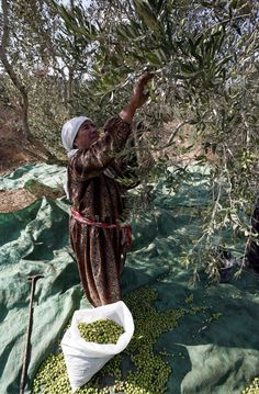 Olive harvest 2012 in Palestina Beautiful Places To Visit, Beautiful World, Olives, Olive Harvest, Palestine History, Olive Gardens, Cute Girl Photo, We Are The World, Olive Tree