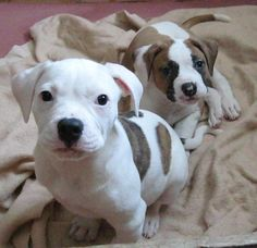 American Bulldogs :)