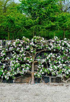 Espalier is a creative way to create a striking visual feature in the garden. Image courtesy of Cyclone - How to espalier a fruit tree in your garden Small Garden, Garden Trees, Plants, Fruit Trees, Espalier Fruit Trees, Outdoor Gardens Design, Famous Gardens, Planting Hydrangeas, Arizona Backyard Landscaping
