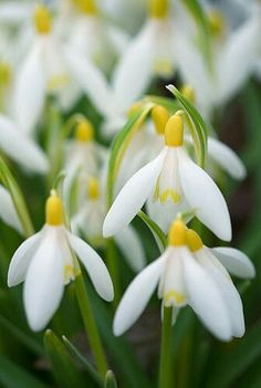 yellow snowdrops (nivalis Sandersonii)