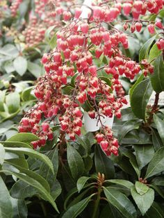 lesser know spring blooming shrub: pieris japonica (japanese pieris)