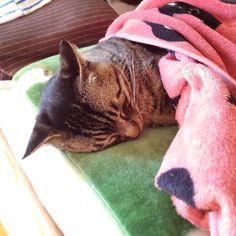 「おはムサシ! ぐうスヤちゃん。peacefully. #musashi #mck #cat #キジトラ #ムサシさん 昨日の夕方の般若ムサシさんを @stevenriver さんがイラストにしてくれました! これはスゴイのでぜひ見てみてください! @stevenriver drew yesterday's…」