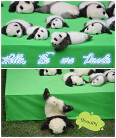 The Cutest Animal - Panda  Join Family Travel, China Muslim Tour, Halal Trip, Tourism Package, Enjoy Halal Food in Halal Chinese Restaurants with   muslimtourtravel.com in China.