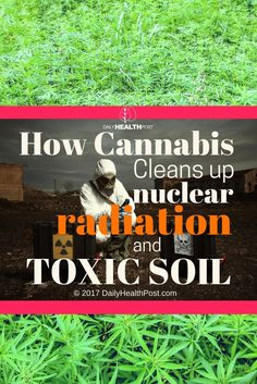 How Cannabis Cleans up Nuclear Radiation and Toxic Soil via @dailyhealthpost