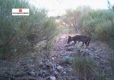 Los atropellos no frenan el avance del lobo en Madrid | Madrid | EL PAÍS