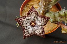 Tridentea gemmiflora