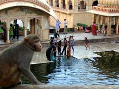 Galtaji Temple / Monkey Temple. The temple complex of Ramgopalji temple is colloquially known as Monkey temple (Galwar Bagh) in travel literature, due to the large tribe of monkeys who live here.