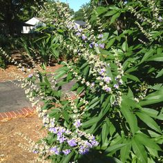 Vitex blooming!