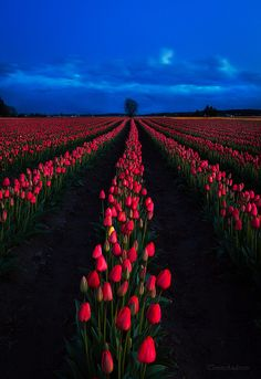 ~~Rooted In Spring - Skagit Valley Tulips 2011 ~ sunset, Mount Vernon, Washington by Trevor Anderson~~