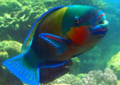 The parrot fish also wears the colors of the rainbow, the pattern and hues displayed subject to change throughout its lifetime, like a chameleon of the sea. Underwater Creatures, Underwater Life, Ocean Creatures, Colorful Animals, Colorful Fish, Tropical Fish, Exotic Animals, Beneath The Sea, Under The Sea
