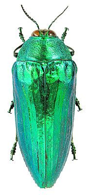 Exotic Jewel Beetle Eucallopistus castelnaudii (Deyrolle, 1864) (Buprestidae) Malaysia, Perak, Cameron Highlands