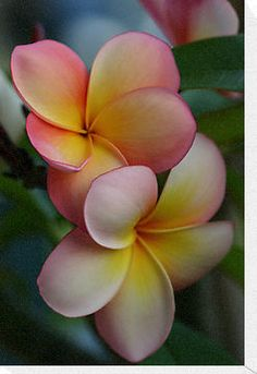 Pretty Plumerias in Hawaii ... great tattoo idea for our honeymoon in Maui
