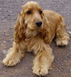 Golden English Cocker Spaniel