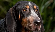 Everything you want to know about Bluetick Coonhounds including grooming, training, health problems, history, adoption, finding good breeder and more.