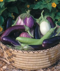 Tips for growing eggplant (here: a pale purple 'Listada de Gandia', a 'White Beauty', a couple of long, slender 'Thai Green', and several deep-purple 'Violette Longue')