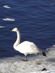 Yoga swan
