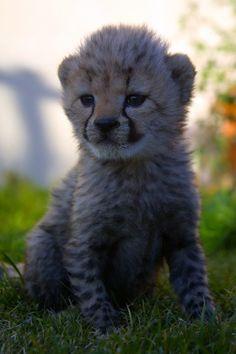 Big five Safari close to Cape Town. Inverdoorn and Iziba Safari Lodge. Daily cheetah runs. Exotic Cats, Cheetahs, Cape Town, Conservation, Tigers, Lions, Safari, Bears, Wildlife