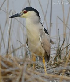 Black-crowned Night Heron. USFWS Bear River Migratory Bird Refuge, Utah. Photo: Jennifer Bunker