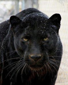 Black colorations of Jaguars and Leopards, often mistaken for a different species, are commonly called Panthers.
