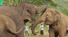 A Blind Elephant Rescued From The Circus, Is Greeted By Another Elephant Upon Arrival At The Sanctuary