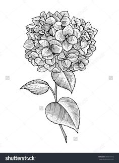 Sprig of blooming hydrangea, black and white graphics