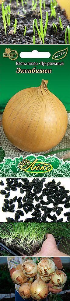 Опыт выращивания лука эксибишн на дачном участке — 6 соток