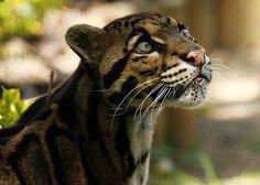 Wild Cats Pt 3 Sunda Clouded Leopard  Lazer Horse