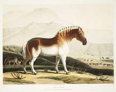 "Samuel Daniell ""El Quaga / The Quahkah (Quagga)"", aguatinta / aquatinta, 1804 de la serie ""Paisajes y animales africanos"" / from the Series African scenery and animals.El Hurgador [Arte en la Red]"