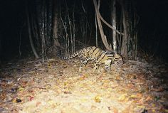 It is called a clouded leopard. Scary! Credit: Rohit Singh / WWF-Cambodia