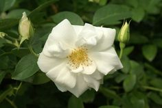 Iceberg - Ludwigs RosesLudwigs Roses