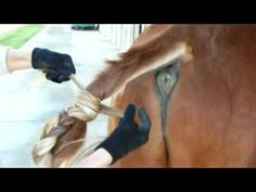 Polo Pony Tail Tying - Texas Mud Knot