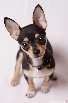 Chihuahuas are excellent pets, but a dog owner must bear in mind that the Chihuahua lifespan is shorter compared to human lifespan. That said it is important that the owner to make sure that his/her Chihuahua has a long and happy life. Apple Head Chihuahua, Merle Chihuahua, Baby Chihuahua, Cute Puppies, Cute Dogs, Dogs And Puppies, Doggies, Animals And Pets, Baby Animals