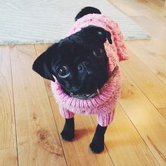 Nala is so cute (Zoella & Alfies pug) Cute Puppies, Cute Dogs, Dogs And Puppies, Doggies, Funny Dogs, Baby Animals, Cute Animals, Small Animals, Pugs And Kisses