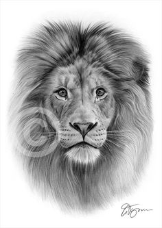 Pencil drawing graphic print of a lion by UK artist Gary Tymon. - Pencil drawing graphic print of a lion by UK artist Gary Tymon. Animal Sketches, Animal Drawings, Pencil Drawings, Art Drawings, Pencil Art, Chat Lion, Lion Head Tattoos, Wing Tattoos, Tattoos Skull