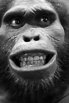 Found in South Africa in 1924 was the Australopithecus africanus who lived 2.1 to 3.3 million years ago in South Africa. Anatomically similar to afarensis, a combo of human-like and ape-like features. Compared to afarensis, africanus had a rounder cranium housing a larger brain and smaller teeth, but also had some ape-like features including long arms and a sloping face that juts out with a pronounced jaw.