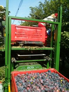Plums (cv Angeleno) harvest in Faenza (RA), Italy